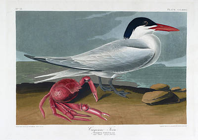 Cayenne Tern Poster by British Library
