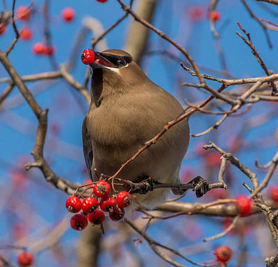 Cedar Wax Wing Poster by Chris Harbeck
