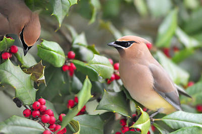 Cedar Waxwing In Holly Tree Poster by Terry DeLuco