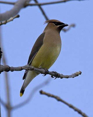 Cedar Waxwing 2 Poster by Eric Mace