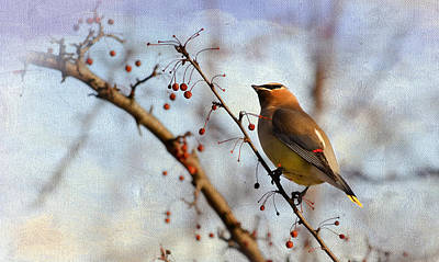 Cedar Waxwing And Berries Poster by Julie Palencia