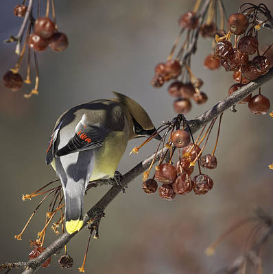 Cedar Waxwing Eating Berries 7 Poster by Thomas Young