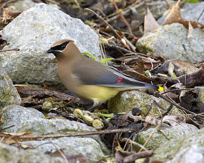 Cedar Waxwing Poster by Eric Mace