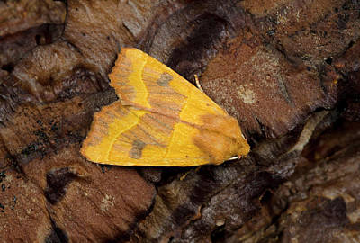 Centre-barred Sallow Moth Poster by Nigel Downer