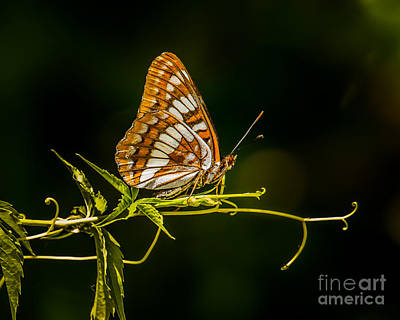 Checkerspot Butterfly Poster by Janis Knight