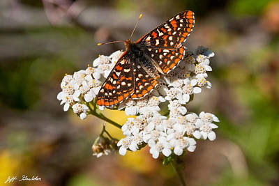 Checkerspot Butterfly On A Yarrow Blossom Poster by Jeff Goulden