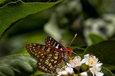 Checkerspot Sipping Nectar Poster by Kathleen Bishop