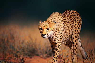 Cheetah Approaching From The Front Poster by Johan Swanepoel