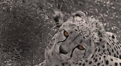 Cheetah Eyes Poster by Martin Newman