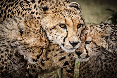 Cheetah Family Portrait Poster by Mike Gaudaur