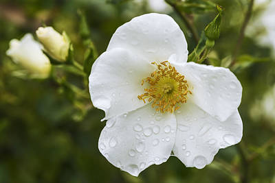 Cherokee Rose With Rain Drops Poster by Vishwanath Bhat