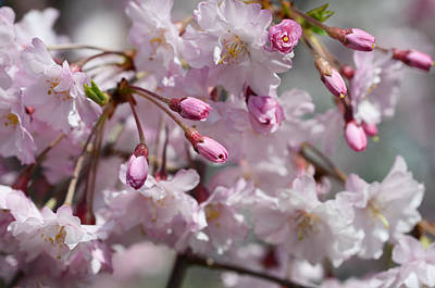 Cherry Blossom Blooms Poster by Lisa Phillips
