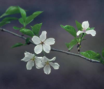 Cherry Blossom Branch Poster by Kim Hojnacki