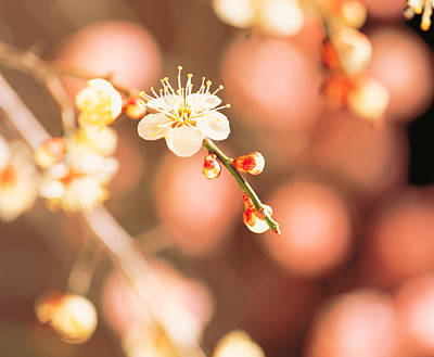Cherry Blossom In Selective Focus Poster by Panoramic Images