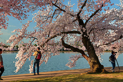 Cherry Blossoms 2013 - 028 Poster by Metro DC Photography