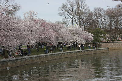 Cherry Blossoms - Washington Dc - 011333 Poster by DC Photographer