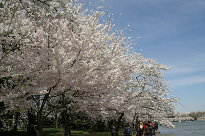 Cherry Blossoms - Washington Dc - 011341 Poster by DC Photographer