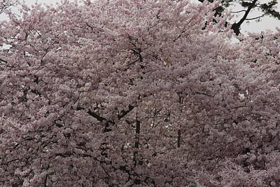Cherry Blossoms - Washington Dc - 01139 Poster by DC Photographer