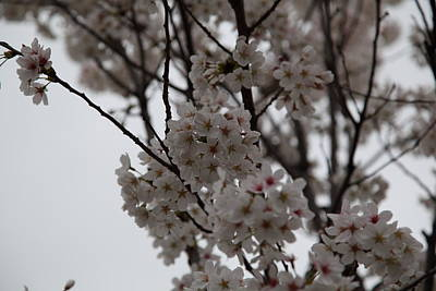 Cherry Blossoms - Washington Dc - 011393 Poster by DC Photographer