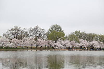 Cherry Blossoms - Washington Dc - 011394 Poster by DC Photographer