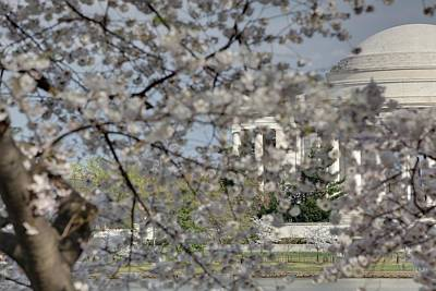 Cherry Blossoms With Jefferson Memorial - Washington Dc - 011335 Poster by DC Photographer