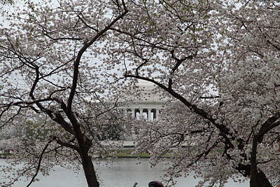 Cherry Blossoms With Jefferson Memorial - Washington Dc - 011352 Poster by DC Photographer