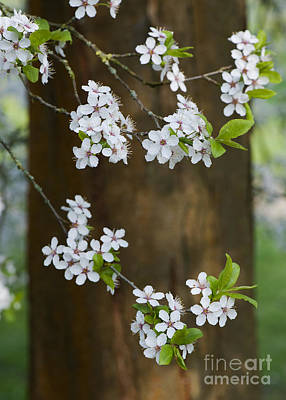 Cherry Plum Tree Blossom Poster by Tim Gainey