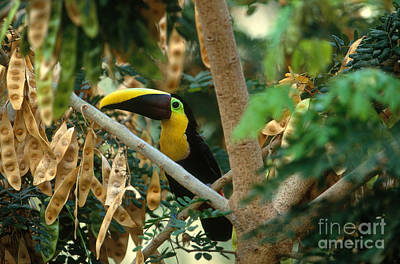 Chestnut-mandibled Toucan Poster by Art Wolfe