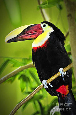 Chestnut Mandibled Toucan Poster by Elena Elisseeva