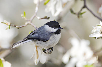 Chickadee And Magnolia - D008970 Poster by Daniel Dempster