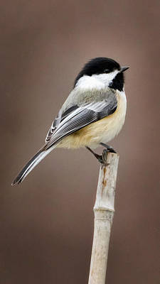 Chickadee Poster by Bill Wakeley