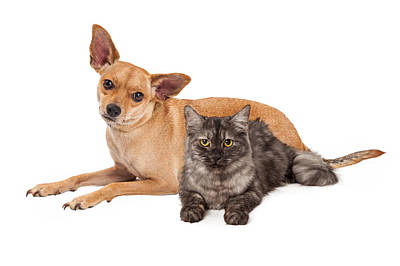 Chihuahua Dog And Gray Cat Poster by Susan Schmitz