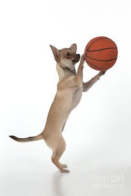 Chihuahua Playing Basketball Poster by John Daniels