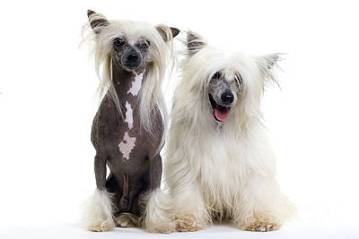 Chinese Crested Dogs Poster by Jean-Michel Labat