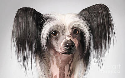 Chinese Crested Hairless Puppy  Poster by Marvin Blaine