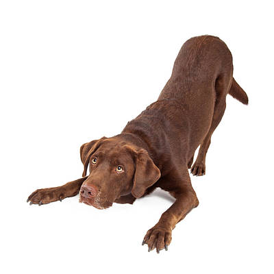 Chocolate Labrador Dog Bowing And Looking Up Poster by Susan Schmitz