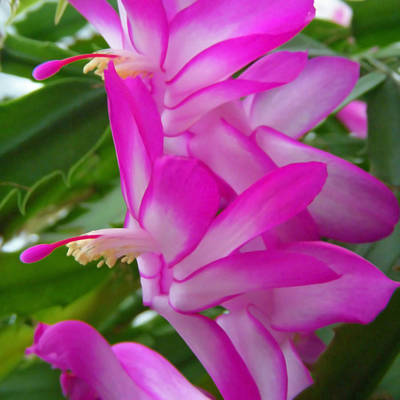 Christmas Cactus Flower Poster by Aimee L Maher Photography and Art Visit ALMGallerydotcom