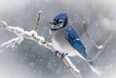 Christmas Card Bluejay Poster by Cheryl Baxter