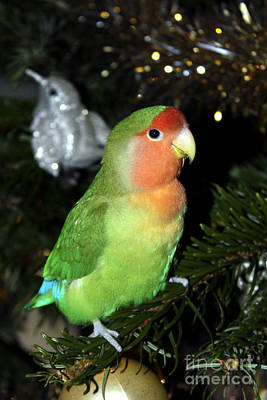 Peach-faced Lovebird Poster featuring the photograph Christmas Pickle by Terri Waters