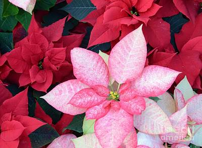 Christmas Pointsettia Poster by Kathleen Struckle