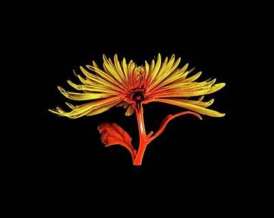 Chrysanthemum Poster by Dan Sykes/natural History Museum, London