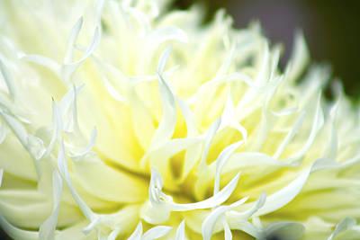 Chrysanthemum Poster by Danielle Allard
