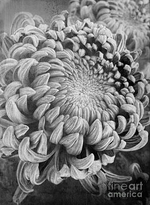 Chrysanthemum Poster by Elena Nosyreva