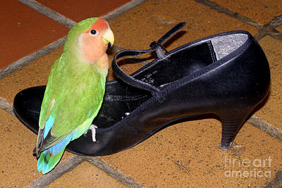 Peach-faced Lovebird Poster featuring the photograph Cinderella Pickle by Terri Waters