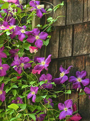 Clemitis On Trellis Poster by Gail Maloney