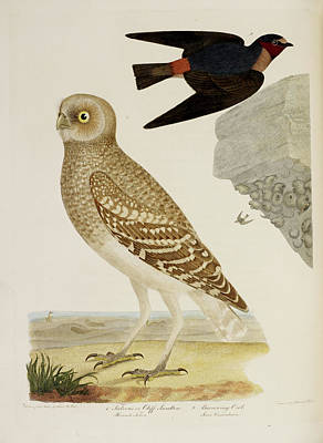 Cliff Swallow And Burrowing Owl Poster by British Library