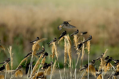 Cliff Swallows Perched On Grasses Poster by Anthony Mercieca