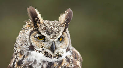Close-up Of A Great Horned Owl Bubo Poster by Panoramic Images
