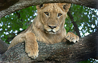 Close-up Of A Lion, Lake Manyara Poster by Panoramic Images