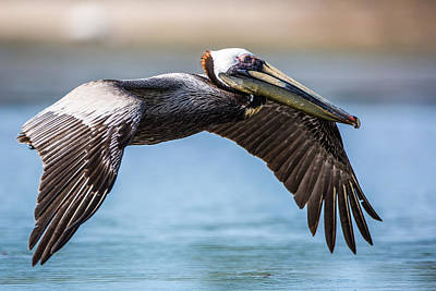 Closeup Of A Flying Brown Pelican Poster by Andres Leon